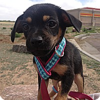 Adopt A Pet :: Pint - Westminster, CO