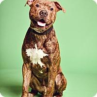 Adopt A Pet :: Biggie - Blacklick, OH