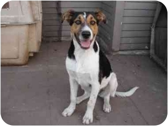 foxhound terrier max adopted puppy west los angeles ca foxhound 3347