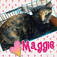 American Shorthair Cat for adoption in Scottsdale, Arizona - Maggie