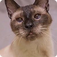 Siamese Cat for adoption in Toledo, Ohio - MONTY