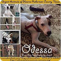 Adopt A Pet :: Odessa - Hearne, TX