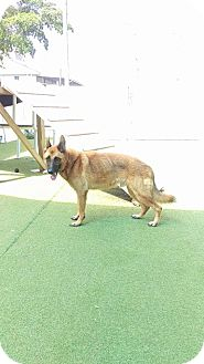 German Shepherd Dog/Belgian Malinois Mix Dog for adoption in Cape Coral, Florida - Hero