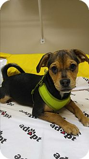 Chihuahua/Beagle Mix Puppy for adoption in Morganton, North Carolina - Olivia