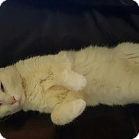 Colorpoint Shorthair Cat for adoption in Phoenix, Arizona - Dottie McVee