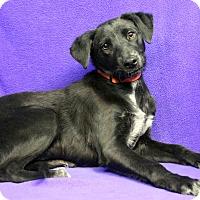 Adopt A Pet :: JACQUELINE - Westminster, CO