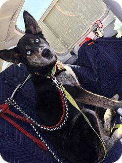 Husky/Cattle Dog Mix Dog for adoption in Crystal Lake, Illinois - Elsa