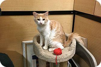 Domestic Longhair Cat for adoption in Riverside, California - Simpson