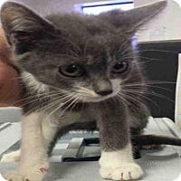 Adopt A Pet :: *GRAY - Bakersfield, CA