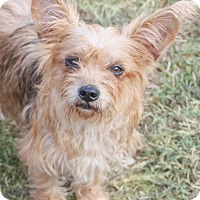 Yorkie, Yorkshire Terrier Mix Dog for adoption in Pipe Creed, Texas - Arwen