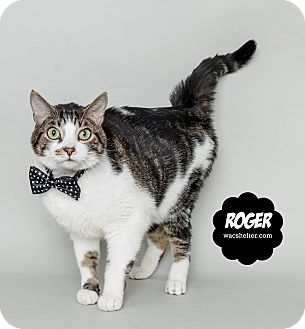 Domestic Shorthair Cat for adoption in Wyandotte, Michigan - Roger