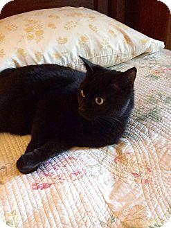 Domestic Shorthair Cat for adoption in Colmar, Pennsylvania - Katerina