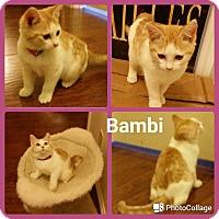 Adopt A Pet :: Bambi - Arlington/Ft Worth, TX