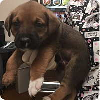 Hound (Unknown Type)/Retriever (Unknown Type) Mix Puppy for adoption in Mount Holly, New Jersey - BEAR