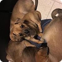 Adopt A Pet :: Blane McDonough - Redmond, WA