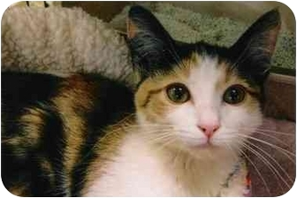 Calico Kitten for adoption in Brea, California - Tessa