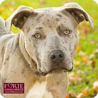 catahoula leopard dog dog ready for adoption dog ready for