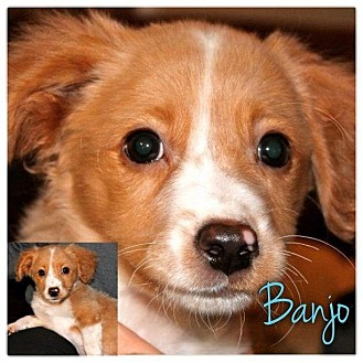 Dachshund/Beagle Mix Puppy for adoption in Garden City, Michigan - Banjo