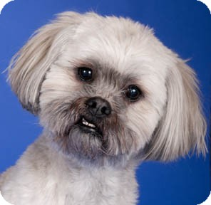 Lhasa Apso Dog for adoption in Chicago, Illinois - Utzi