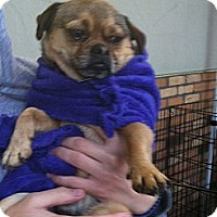 Adopt A Pet :: Mugsy - North Hollywood, CA