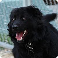 Adopt A Pet :: Gideon - Brattleboro, VT