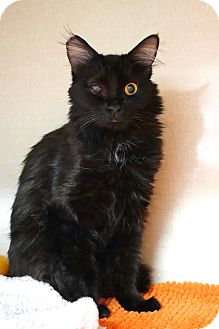 Domestic Mediumhair Cat for adoption in Montclair, California - Madalyn