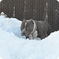 Adopt A Pet :: KNUCKLE HEAD - Philadelphia, PA