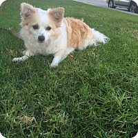 Adopt A Pet :: Blondie - Redondo Beach, CA