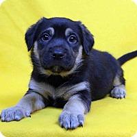 Adopt A Pet :: Hildago - Westminster, CO
