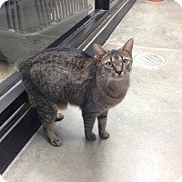 Adopt A Pet :: Lysa - Simpsonville, SC