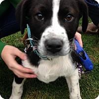Adopt A Pet :: Daisy--Pending Adoption - Lancaster, PA