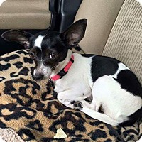 Rat Terrier/Chihuahua Mix Dog for adoption in Brooksville, Florida - Lola