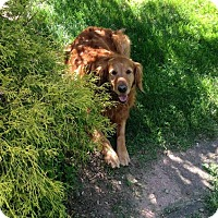 Adopt A Pet :: Ginger 1 in CT - Manchester, CT