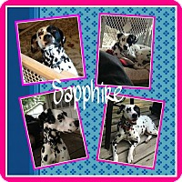 Adopt A Pet :: Sapphire - Fort Collins, CO
