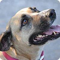 Black Mouth Cur Mix Dog for adoption in Ormond Beach, Florida - Chance