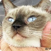 Adopt A Pet :: sOPHIA - Germantown, MD