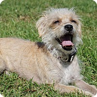 Maltese/Poodle (Miniature) Mix Dog for adoption in Hawthorne, California - Eevee