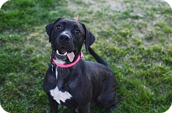 Labrador Retriever/American Bulldog Mix Dog for adoption in Salt Lake City, Utah - Pimi