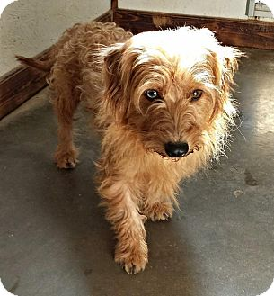 Terrier (Unknown Type, Small)/Dachshund Mix Dog for adoption in Washburn, Missouri - Hunter