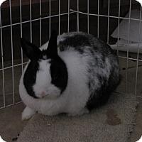 Dwarf Hotot Mix for adoption in Warren, Michigan - Levi & Lucy