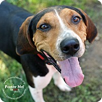Coonhound (Unknown Type) Mix Dog for adoption in Lyons, New York - Dudley
