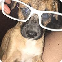 Adopt A Pet :: Toffy - Spring, TX