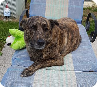 Shepherd (Unknown Type)/American Staffordshire Terrier Mix Dog for adoption in North Olmsted, Ohio - Emma-Courtesy Post