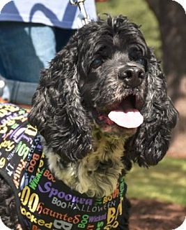 Cocker Spaniel Dog for adoption in Austin, Texas - Harpo