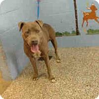 Pit Bull Terrier Dog for adoption in San Bernardino, California - URGENT ON 11/26 San Bernardino