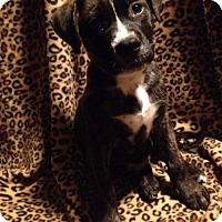 American Pit Bull Terrier/Husky Mix Puppy for adoption in Los Banos, California - Charlie