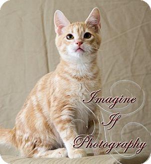 Domestic Shorthair Kitten for adoption in Oklahoma City, Oklahoma - Sebastian