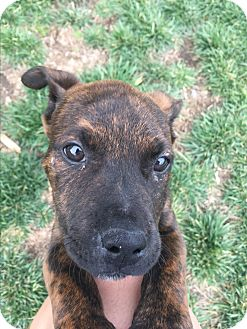 Boxer/Jack Russell Terrier Mix Puppy for adoption in Orange County, California - Tommy