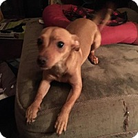 Chihuahua Mix Puppy for adoption in Arlington/Ft Worth, Texas - Halston