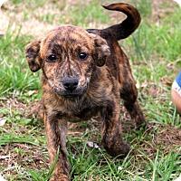 Adopt A Pet :: Lizzy - Glastonbury, CT